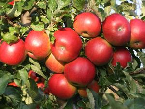 jabloni
