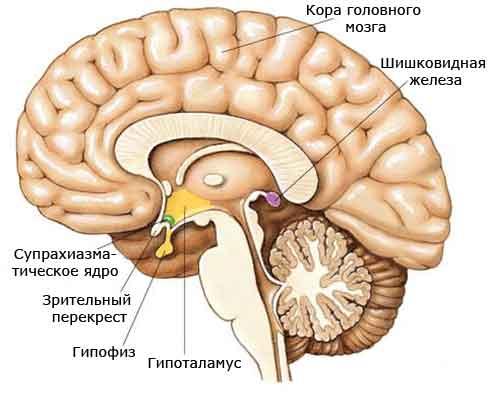 эндокринная системма